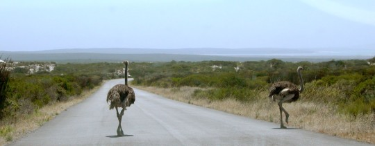 The West Coast National Park in the Western Cape of South Africa is a great place for spotting wildlife. In the southern reaches of the National Park, which is the distant background of this photo, lies the the Geelbek Dune system. Fossils recovered from the Geelbek Dunes have provided great insight into the ancient wildlife of the region.